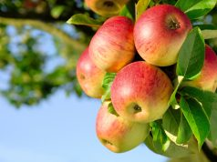 Top 7 Fruit Trees Grown For Small Places